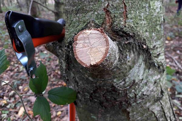 Tree Branch Freshly Cut